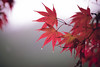DSC_1008 (JasonQQ91) Tags: d850 nikon nikkor 105mm f14e taiwan photo 衫林溪 楓葉 南投 台灣 mapleleaf nantou photography natural 單眼