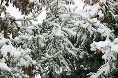 2017 Snow On Spruce Tree Branches 027 (Chrisser) Tags: weather snow nature ontario canada canoneosrebelt6i canonefs60mmf28macrousmprimelens lens00025 digital