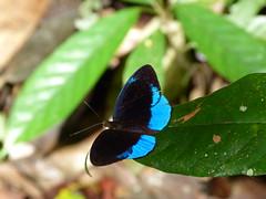 P1020600  ORANGE-RAYED (SOPHONISBA) PURPLEWING (birder2015 Toronto, Canada) Tags: ecuador orangerayedpurplewing sophonisbapurplewing eunicasophonisba nymphalidae mariposa butterfly lepidoptera insect