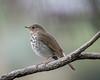 Hermit Thrush (Becky Matsubara) Tags: bird birds california contracostacounty elcerrito hermitthrush thrush catharusguttatus heth