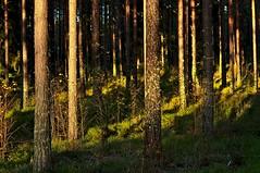 Another forest (Stefano Rugolo) Tags: stefanorugolo pentax k5 smcpentaxm50mmf17 forest tree light autumn woodland sweden hälsingland landscape