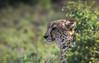 Kwandwe Cheetah (Coisroux) Tags: cheetah safari africanwildlife africananimals dramatic emerging bushes veld bushveld kwandwe spots bigcats big5 predator d5500 nikond nikond5500 southafrica