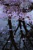 Jacaranda reflections (Jutta Sund) Tags: jacaranda sydney puddle rain reflection tree petals purple