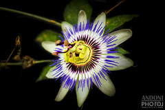 Passiflora-Caerulea---Passionflower - La Pasionaria (Andoni Fernández photography) Tags: pasionaria blue macro flower passion fruit garden nature colours petals flores verdes green hojas pistilos petalos