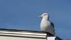 Goéland, Bar Harbor, Maine, USA - 3307 (rivai56) Tags: sony photographing barharbor maine étatsunis us goéland gull oiseau bird mer sea