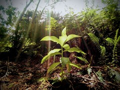 Florece la Tupa (Felipe Smides) Tags: tupa mapuche tabaco selva wallmapu smides felpesmides lobelia trupa