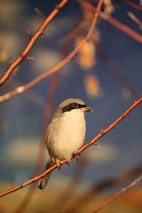 Shrike (Note-ables by Lynn) Tags: shrike animals birds hganimalsonly
