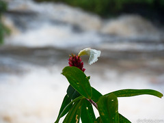 Flower by waterfall (David R. Crowe) Tags: colour flower green light nature plant red translucence water waterfall white chiangmai thailand