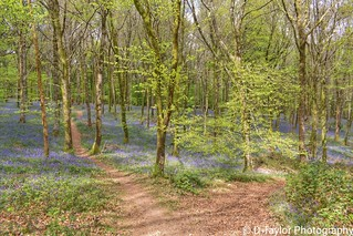 Seeing as winter is here and the nights are long let's rewind to spring when the days were getting longer. This carpet of Bluebells is in Hembury woods near Buckfastleigh in Devon.