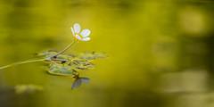 La magia primaveral (Giacomo della Sera) Tags: yellow amarillo primavera spring luz light toledo españa reflejo photography fotografia green planta plant florecer blossom macro flor