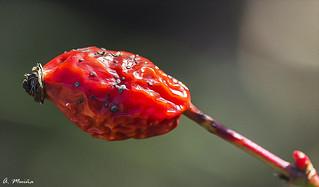 It is not a fruit. Contains the seeds of future roses. No es un fruto. Contiene las semillas de futuras rosas