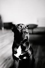 Pablo (Raleene) Tags: pablo pets dogs canecorso