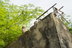Atirador e Observador (Ribamar Pereira) Tags: corujas pássaros