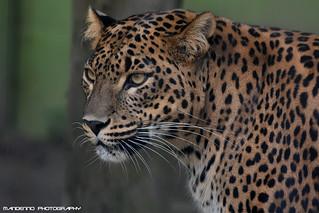 Sri Lanka Leopard - Best Zoo