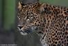 Sri Lanka Leopard - Best Zoo (Mandenno photography) Tags: dierenpark dierentuin dieren animal animals bigcat big cat best zoo ngc nederland netherlands nature