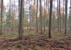 In the woods (Elisa1880) Tags: maarn utrecht nederland netherlands autumn herfst trees bomen doorn
