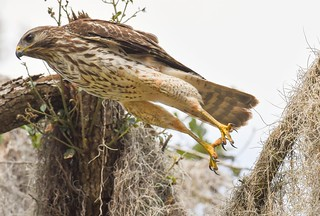 Hopping Hawk