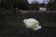 rose (Hideki Iba) Tags: flower rose nikon d850 wide osaka japan suita park bokeh white color