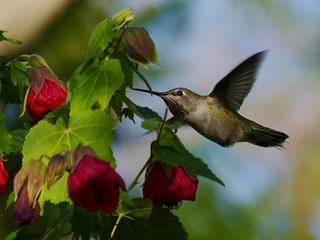 Anna's Hummingbird, female, feeding on the red flowers of an Abutilon.