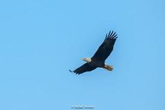 Bald Eagle (Rafael Arvelo C.) Tags: