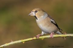 Durbec, Picogordo, Hawfinch (Coccothraustes coccothraustes). Female (Carles Pibernat) Tags: