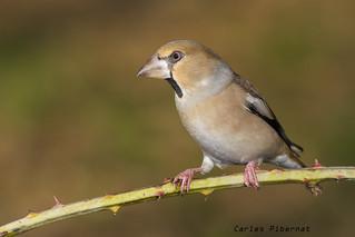 Durbec, Picogordo, Hawfinch (Coccothraustes coccothraustes). Female