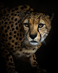Striking a Pose (Paul E.M.) Tags: cheetah animalportrait speed feline cat sandiegozoo attention