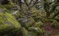 The graveyard of landscape photographers (Please visit www.markainsley.com) Tags: wistmans wood devon dartmoor green trees oak moss lichen rock boulder twisted dark moody eerie fairytale uk england landscape d7100 wideangle