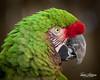 Mango (ToddLahman) Tags: mango militarymacaw macaw animal animalambassador beautiful bird birds outdoors canon7dmkii canon canon100400 closeup sandiegozoosafaripark safaripark