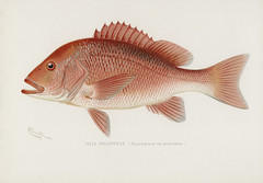 Red Snapper (Neomaenis Blackford); illustrated by Elizabeth Gould (1804–1841) for John Gould's (1804-1881) Birds of Australia (1972 Edition, 8 volumes). One of the most celebrated publications on Ornithology worldwide, Birds of Australia introduced more t (Vintage illustrations by rawpixel) Tags: fishesofnorthamerica gamebirdsandfishesofnorthamerica neomaenisblackford otherkeywords redsnapper shermanfootedenton america drawing fishes northamerica