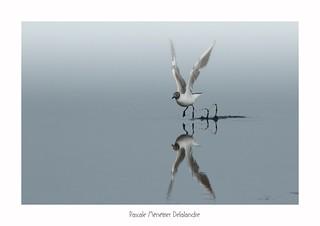 Mouette rieuse - Black-headed Gull