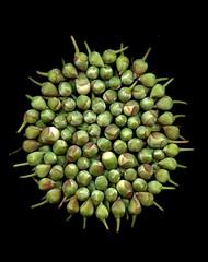 58604.01 Stewartia pseudocamellia (horticultural art) Tags: horticulturalart stewartiapseudocamellia stewartia buds flowerbuds mandala circle
