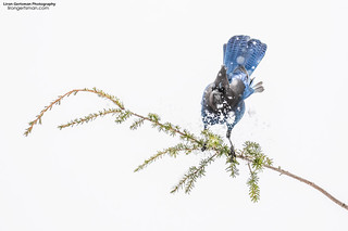 Steller's Jay in the Snow