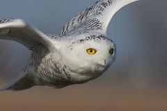 Snowy Owl Yellow Eyes (Bill VanderMolen) Tags: snowyowl owl fishpointswa michigan