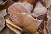 GIMGP3383 (Ice's photos) Tags: givre neige hiver winter provence snow leeves leaves leaf iceleaf deadleaves ice cold macro closeup floor froid nature outdoor outside glace