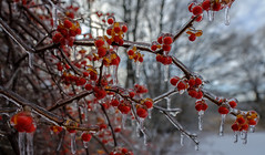 (jtr27) Tags: dscf5010xl jtr27 fuji fujifilm xt20 xtrans rokinon samyang 16mm f2 f20 wideangle ice red berry berries landscape manualfocus maine