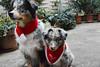 Sarafina und Mogli (VreSko) Tags: dog dogs hund perro perros hunde quinn sarafina mogli australian shepherd