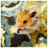 Home hamster (Sergey SKS) Tags: hamster pet pentax282