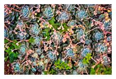 Rosettes (Daniela 59) Tags: 7dwf fridaythemeflora plant flower succulent echeveria hensandchicks nature garden clover danielaruppel