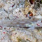 Signalfin Sandgoby - Fusigobius signipinnis thumbnail