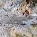 Signalfin Sandgoby - Fusigobius signipinnis