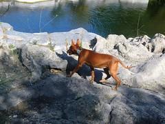 Rosalia...Cirneco dell' Etna (Luigi Strano) Tags: cirnecodelletna dog dogs cani sicilia sicily italy europe pet