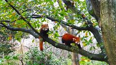 Red panda's (marieckejanssen) Tags: panda blindphotographer animal dier zoo dierentuin blijdorp rode red mammal zoogdier tree boom