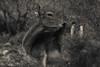 27102017-DSC_0089.jpg (stephan bc) Tags: cazorla reis zoogdieren regioandalucia zwartwit