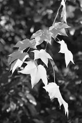 Maple (Mags McLaren) Tags: 7daysofshooting week18 nature blackandwhitewednesday