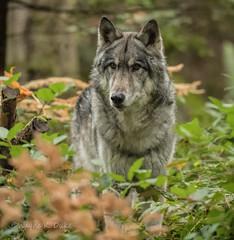 ND5_0336.jpg In the Underbrush (Wayne Duke 76) Tags: animal wolf woods brush trees fur