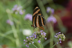 Butterfly 2017-174 (michaelramsdell1967) Tags: beauty nature macro animals bokeh beautiful closeup orange butterfly animal pretty green insect vivid insects wildlife zen wild vibrant butterflies wilderness lepidoptera tounge upclose eastern tiger swallowtail nymphalidae fritillary spice