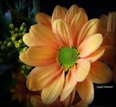 Chrysanthemum's Beauty.. (gypsie2 ~ On/Off) Tags: s100fs autumn nature macro flower chrysanthemum orange green yellow ngc coth npc coth5 sunrays5