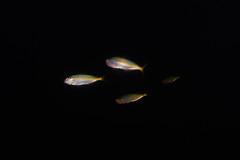 Little Rainbow Runners (Gomen S) Tags: fish animal wildlife nature asia tropical 2017 autumn hongkong hk china underwater ocean sony sonyflickraward rx100v nauticam
