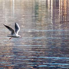 volteggi inquadrati 6 (pamo67) Tags: pamo67 roundedcorners square gabbiano seagull lago lake riflessi reflections reflexes volo flight bird water colori colors pasqualemozzillo 6